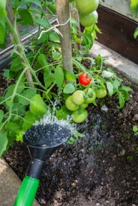 Tomatenpflanze gieen