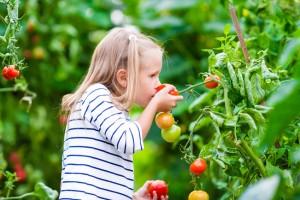 Kleines Mädchen hat Spass bei der Tomatenernte