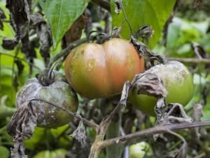 Tomaten mit Pilzbefall