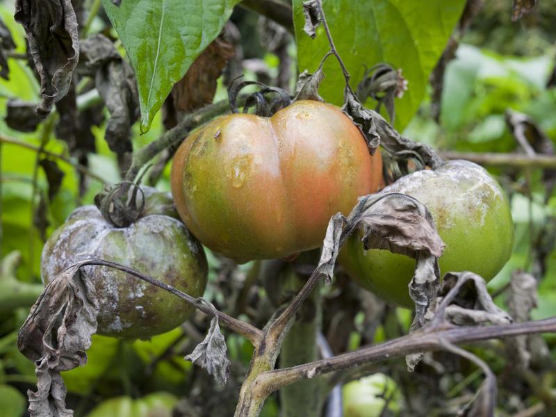 tomaten pflücken und lagern